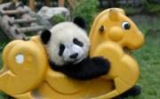 Beruang Panda yang Teramat Comel ini