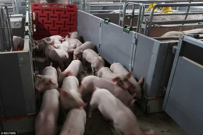 """""""Chung cư"""" cao tầng dành cho lợn ở Trung Quốc - 6"""