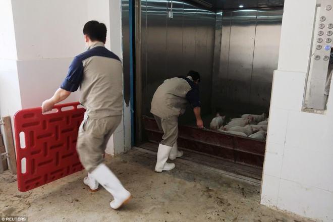 """""""Chung cư"""" cao tầng dành cho lợn ở Trung Quốc - 4"""