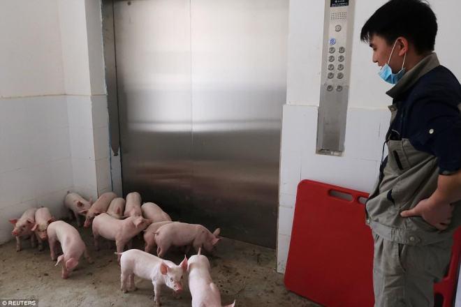 """""""Chung cư"""" cao tầng dành cho lợn ở Trung Quốc - 9"""