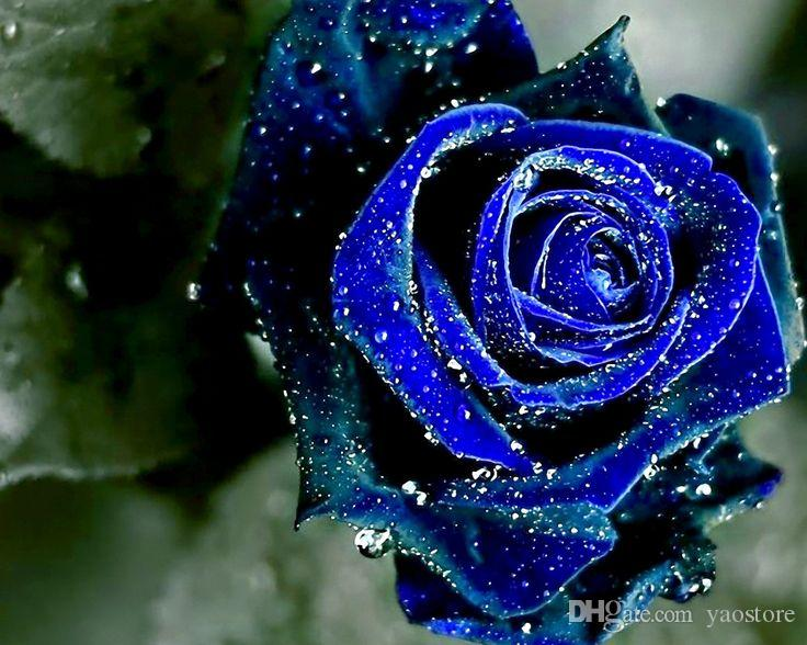 Midnight Rose Blue Color Flower Seeds Beautiful Hot Selling Wedding