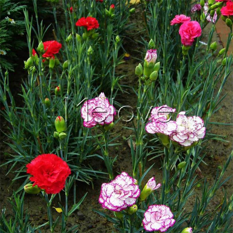 Carnation Flower Plant 2018 Mixed Color Carnations Flower Seeds Dianthus