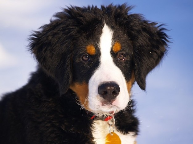Berner Hund Pet Berner Hunde-welpen-hund Berg | Download Der