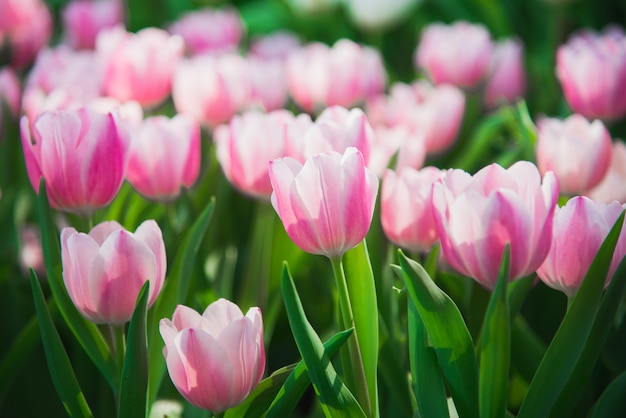 Tulips in spring sun Photo Premium Download