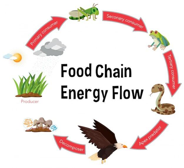 Food chain energy flow diagram Vector Premium Download
