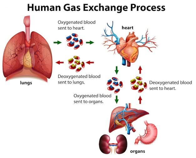 Human gas exchange process diagram Vector Free Download