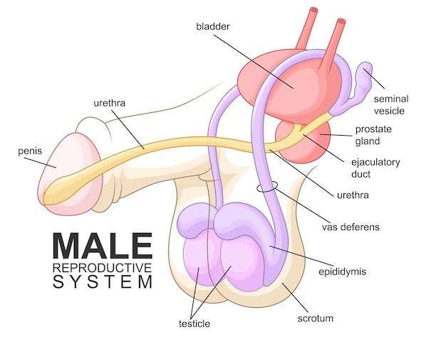Male Reproductive System Cartoon Vector Premium Download
