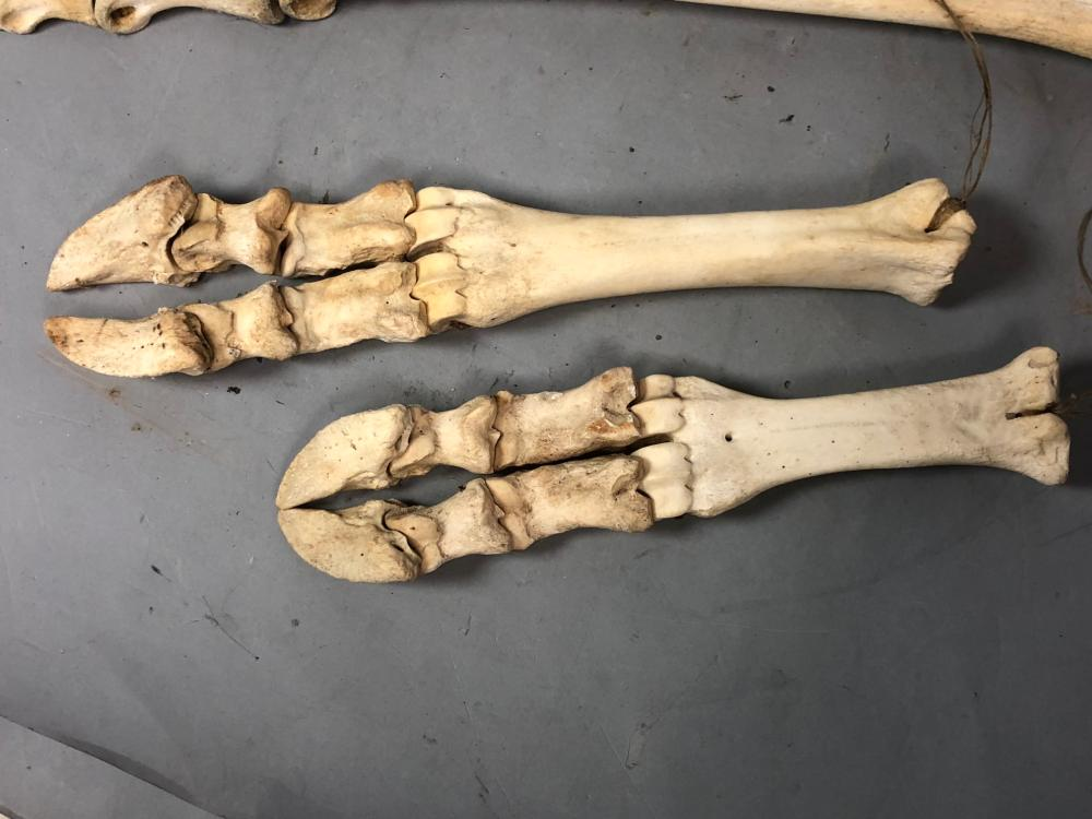 2 Pair Animal Leg Skeletons Some With Hooves Ca