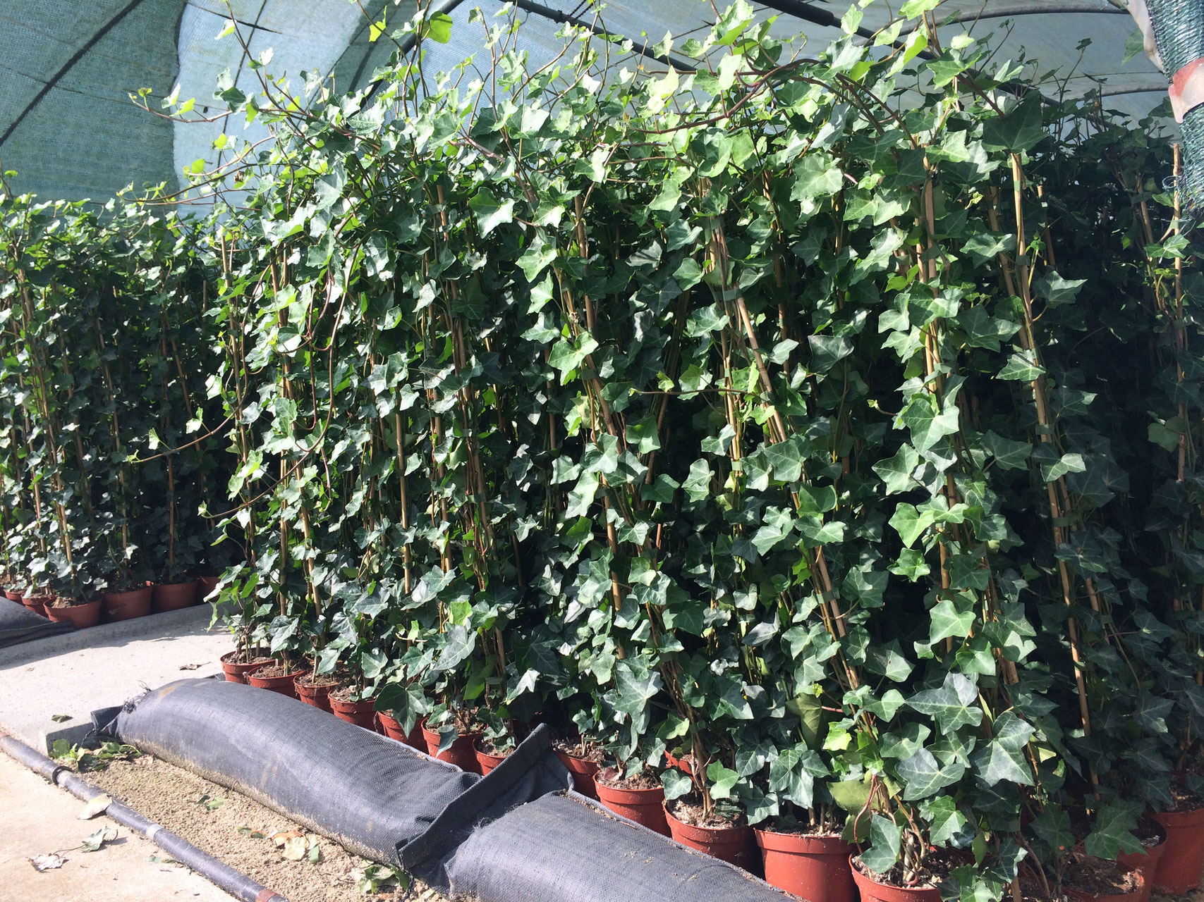 Hedera Planten Hedera Hibernica Ivy Buy Plants Online Straight From
