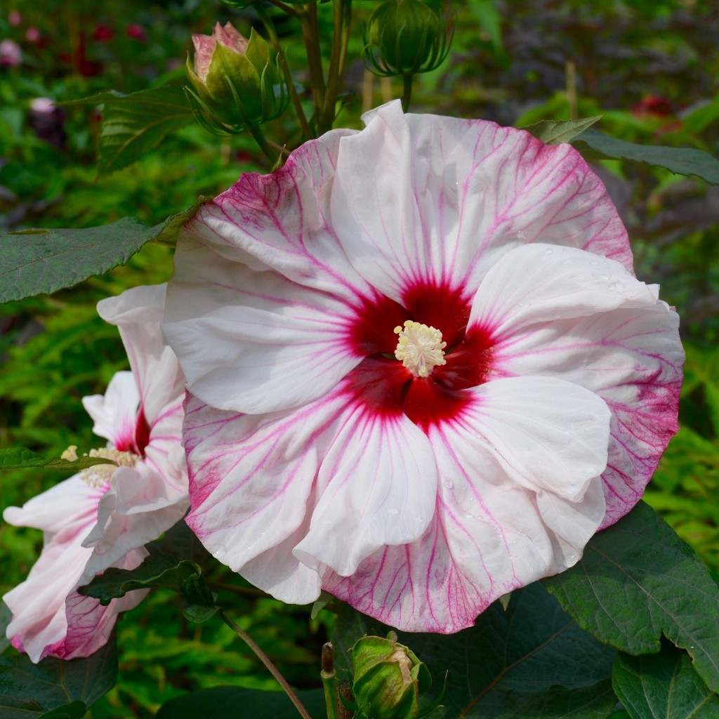 Hortensien Höhe Riesenblatthortensie Hydrangea Aspera