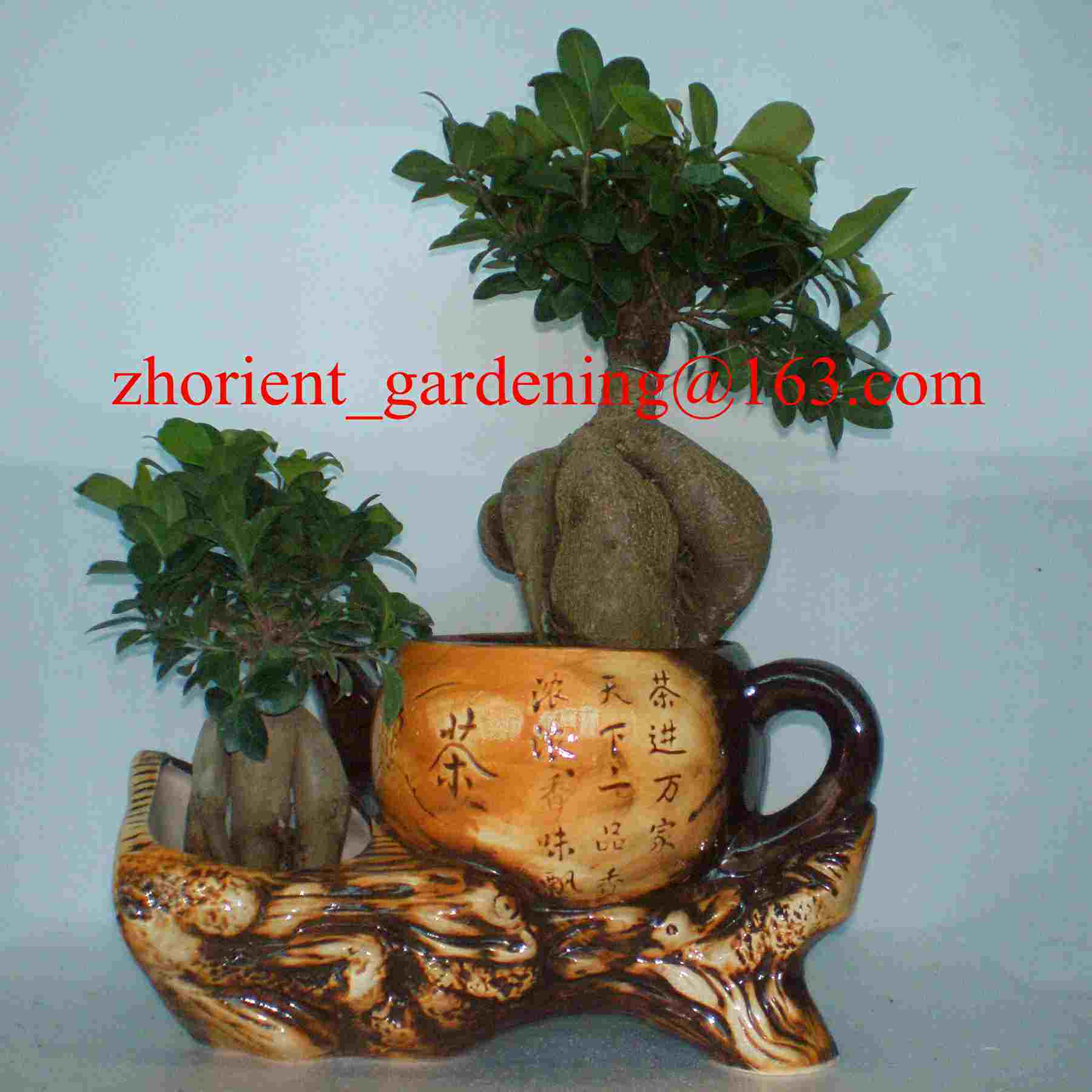 Ficus Ginseng Bonsai Hot Item Ficus Ginseng Microcarpa Mini Potted Bonsai Tree Taiwan Ficus Banyan Fig Indian Laurel Fig Indoor Ornamental Plants