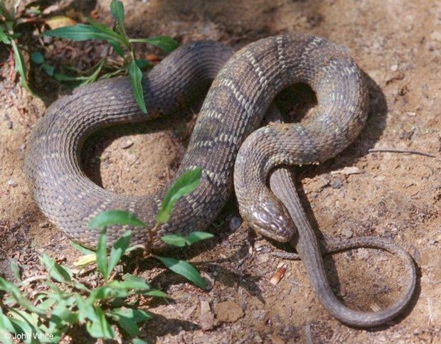 Ny Giants Girls Wallpaper Snakes Common In Hunterdon But Venemous Versions Are Rare