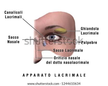 3 D Illustration Human Lacrimal Apparatus Stock Illustration