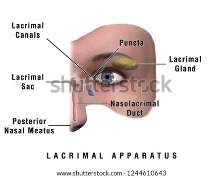 Royalty Free Stock Illustration of 3 D Illustration Human Lacrimal