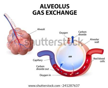 Alveolus Gas Exchange Pulmonary Alveolus Alveoli Stock Illustration