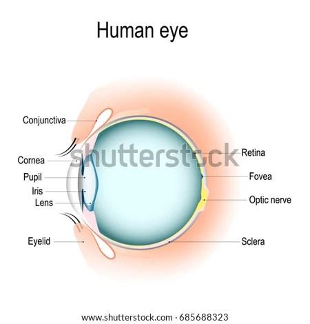 Anatomy Human Eye Vertical Section Eye Stock Illustration 685688323