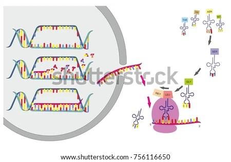 DNA Transcription Translation Part Gene Expression Stock