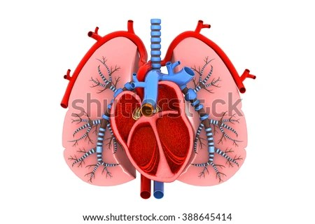 Human Heart Lungs Cross Section Stock Illustration 388645414