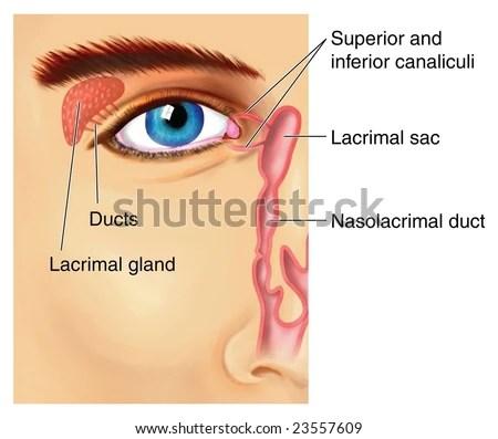 Lacrimal Apparatus Stock Illustration 23557609 - Shutterstock