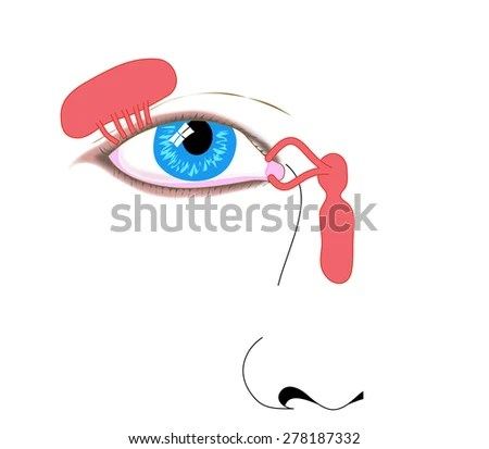 Lacrimal Apparatus Tear Duct Nasolacrimal Duct Stock Illustration