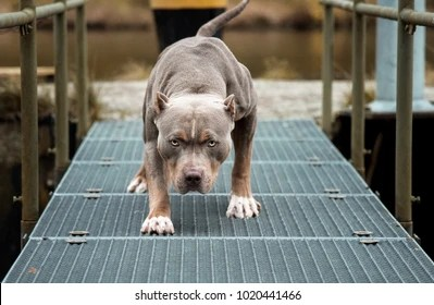 Cute Baby Animals Wallpaper Icon Pitbull Images Stock Photos Amp Vectors Shutterstock