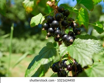 Falling Leaves Wallpaper Blackberry Blackcurrant Images Stock Photos Amp Vectors Shutterstock