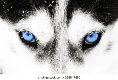 Silver Animal Print Wallpaper Wolf Eyes Images Stock Photos Amp Vectors Shutterstock