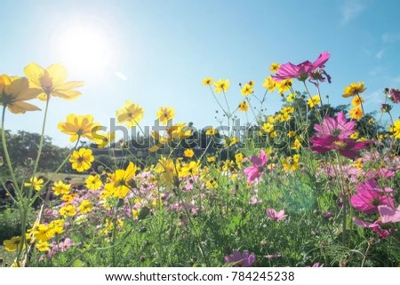 Colorful Nature Flower Background Concept Beautiful Cosmos Stock