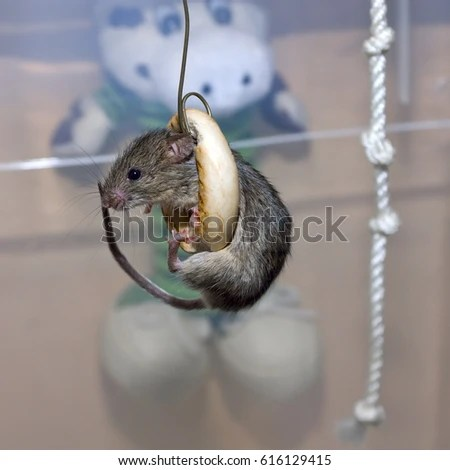 Cute Mice Sits Inside Bagel Stock Photo (Edit Now) 616129415