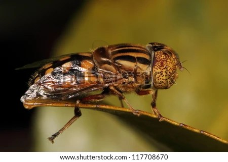 Fly Eyes Striped Spotted Insect Diptera Stock Photo (Edit Now
