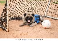 Funny Pug Dog Wearing Football Team Stock Photo (Edit Now ...
