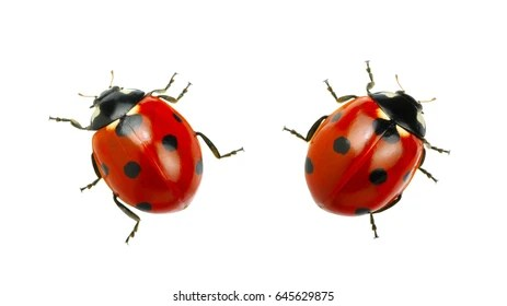 Cute Heart Images For Wallpaper Ladybug Images Stock Photos Amp Vectors Shutterstock