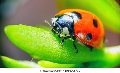 ladybug Images, Stock Photos  Vectors Shutterstock