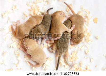 Many Small Cute Mice Sleeping Macro Stock Photo (Edit Now