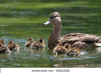 Duck Pond Images Stock Photos Vectors Shutterstock