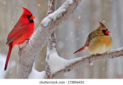 Fall Bird Feeder Wallpaper Cardinal Bird In Snow Images Stock Photos Amp Vectors