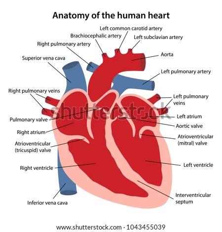 Anatomy Human Heart Cross Sectional Diagram Stock Vector (Royalty