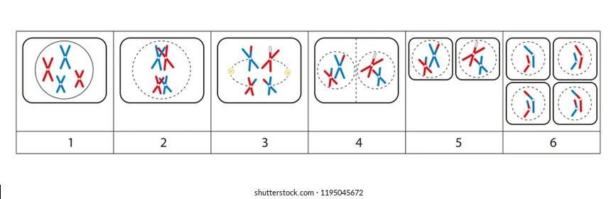 anaphase Images, Stock Photos  Vectors Shutterstock