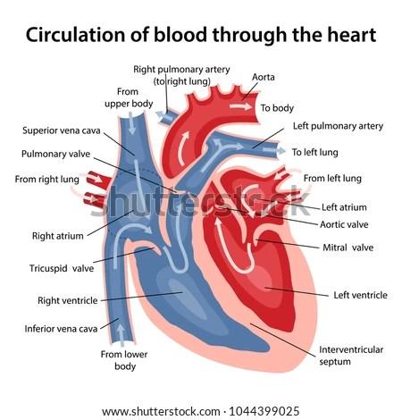 Circulation Blood Through Heart Cross Sectional Stock Vector