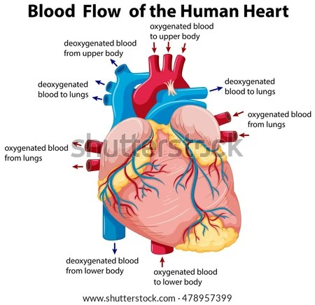 Diagram Showing Blood Flow Human Heart Stock Vector (Royalty Free