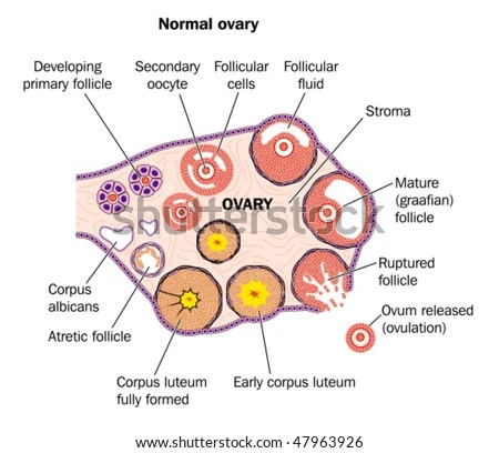 Diagramatic Representation Normal Human Ovary Labeled Stock Vector