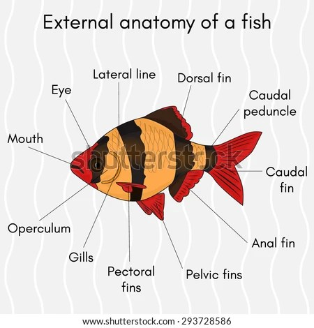 External Structure Fish Name All Parts Stock Vector (Royalty Free