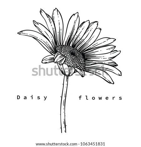 Flower Drawings Daisy Flowers By Hand Stock Vector (Royalty Free