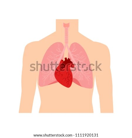 Heart Lungs Internal Organs Male Human Stock Vector (Royalty Free