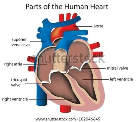 Illustration Parts Heart Stock Vector (Royalty Free) 102046645