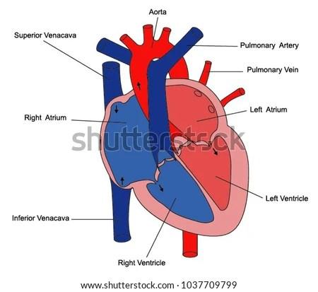 Illustration Parts Heart Stock Vector (Royalty Free) 1037709799