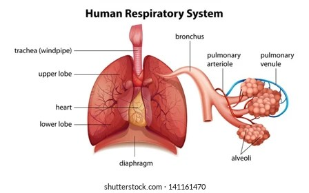 respiratory system Images, Stock Photos  Vectors Shutterstock