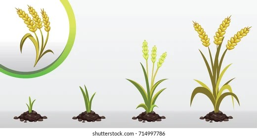 growth stages of wheat Images, Stock Photos  Vectors Shutterstock