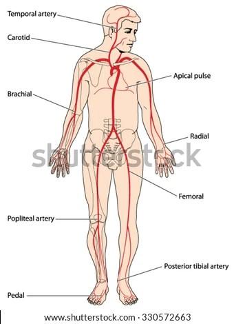 Major Arteries Pulse Points Head Arms Stock Vector (Royalty Free