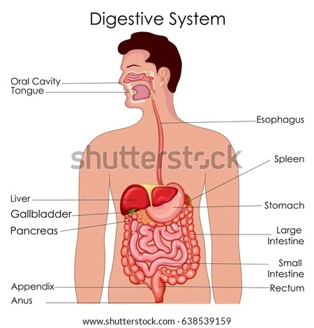 Medical Education Chart Biology Digestive System Stock Vector